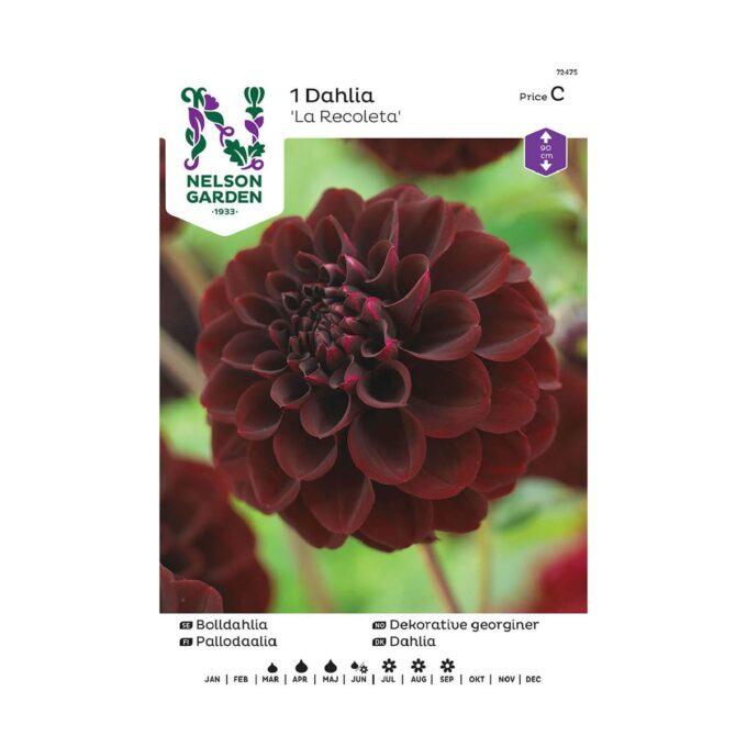 Blomsterløk av Georgine dahlia La Recoleta sjokolade