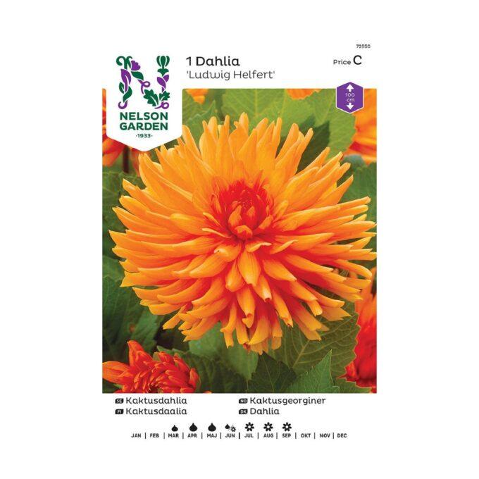 Nelson Garden blomsterløk - georgine dahlia Ludwig Helfert