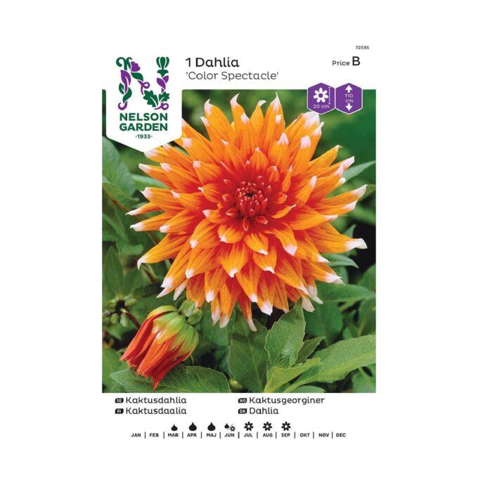 Nelson Garden blomsterløk - orange georgine