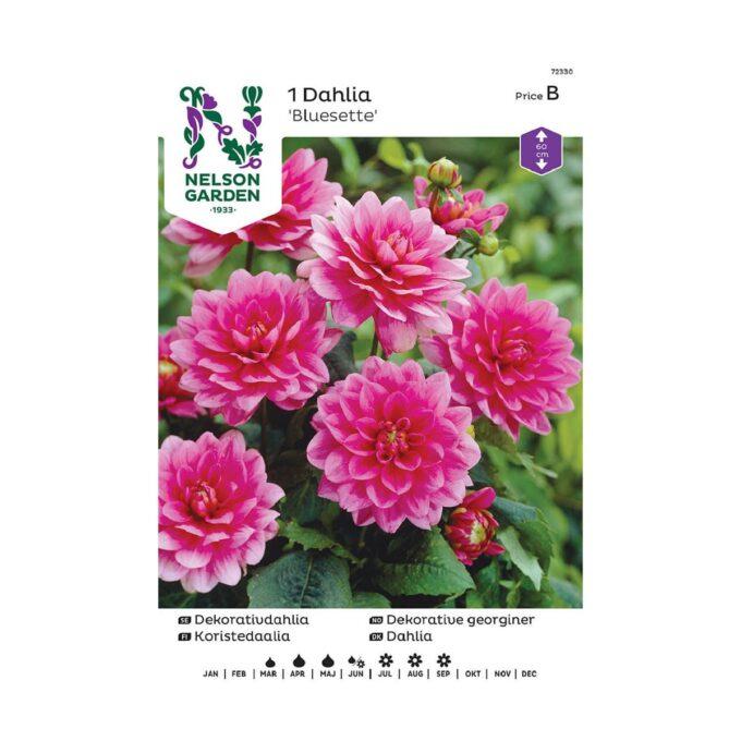 Nelson Garden blomsterløk - georgine Bluesette