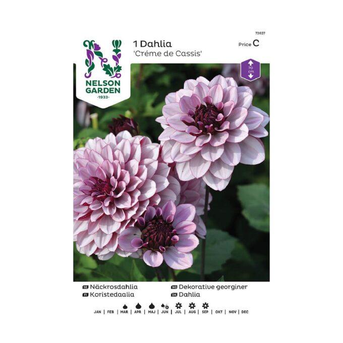 Nelson Garden blomsterløk - Georgine Dahlia Creme de Cassis