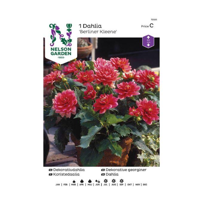 Nelson Garden blomsterløk - georgine Pink Isa Berliner Kleene