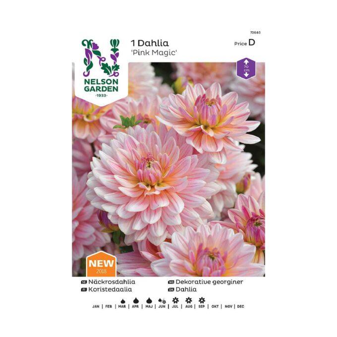 Nelson Garden blomsterløk . georgine dahlia Pink Magic