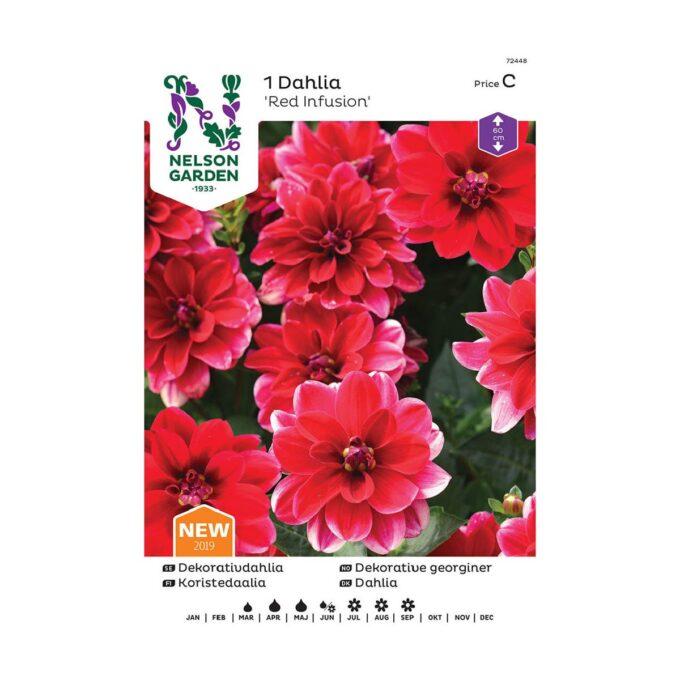 Frøpakke av Nelson Garden blomsterløk - georgine dahlia Red Infusion