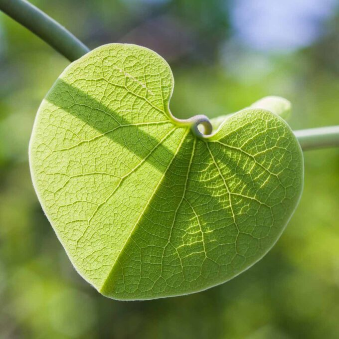 Solen skinner gjennom et perfekt blad til grønn pipeholurt