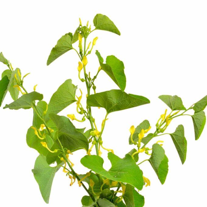 Grønn pipeholurt med gule blomster mot hvit bakgrunn
