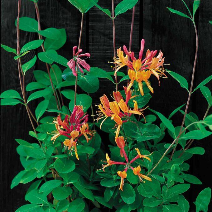 Rosa, orange og røde blomster av heckrottkaprifol