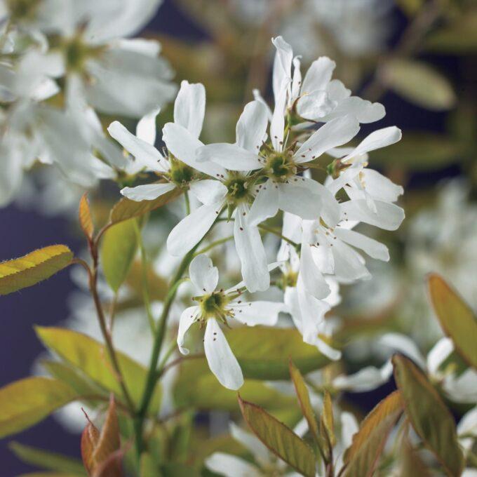 De hvite blomstene til heggsøtmispel Alvdal