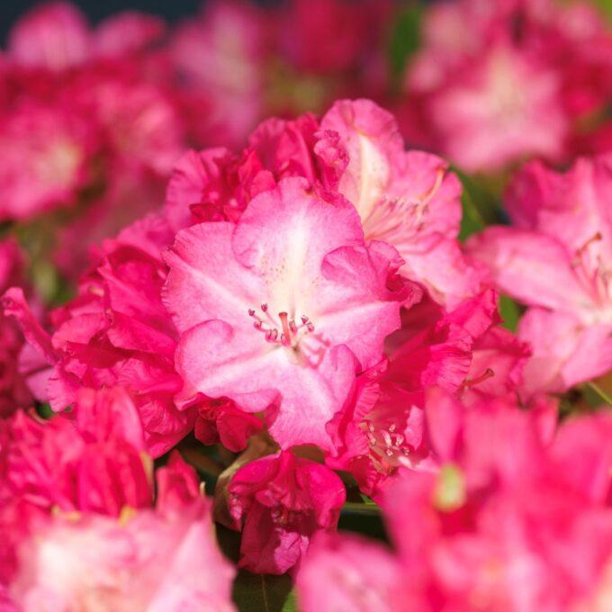 Nærbilde av de vakre, rosa blomstene til Japanrhododendron Fantastica