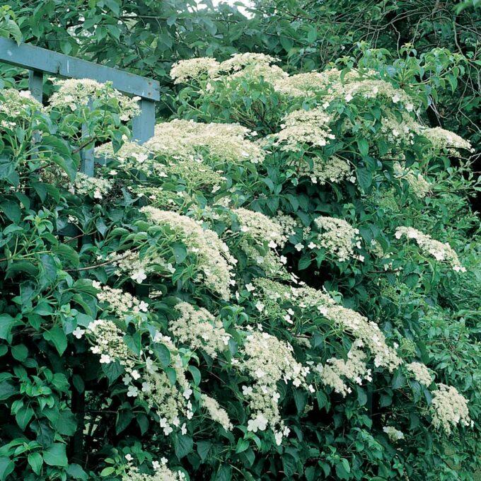 Klatrehortensia, bugnende full av blomster