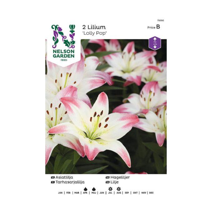 Nelson Garden blomsterløk - asiatisk hagelilje Lolly Pop, hvitrosa