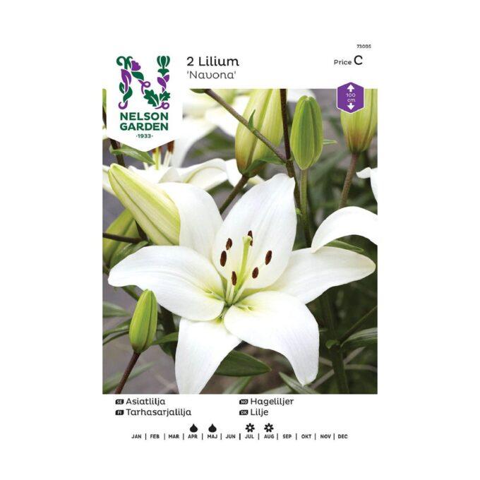 Nelson Garden blomsterløk - Asiatisk hagelilje Navona, hvit