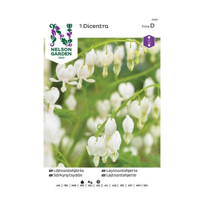 Hvit løyntnantshjerte Lamprocapnos - blomsterløk