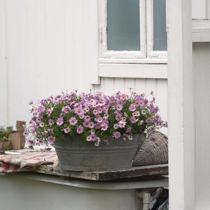 Rosa margeritter i stor grå utepotte