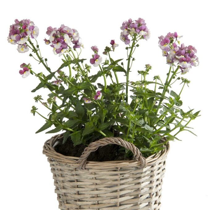 Nemesia med små lila og hvite blomster i kurv