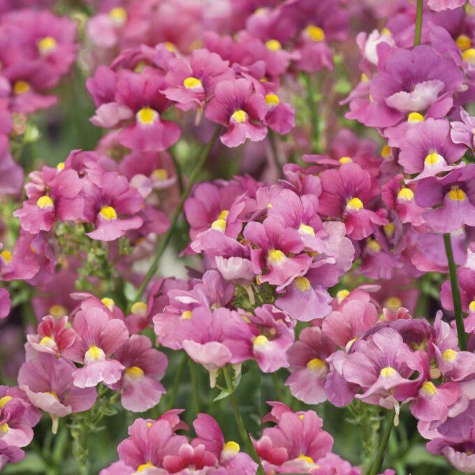 Nærbilde av nemesias lilla blomster