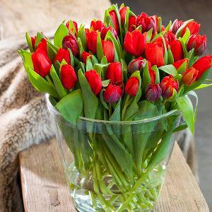 Røde tulipaner til jul