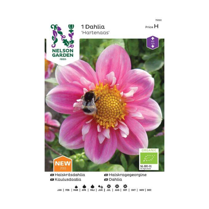 Nelson Garden blomsterløk - Georgine Hartenaas