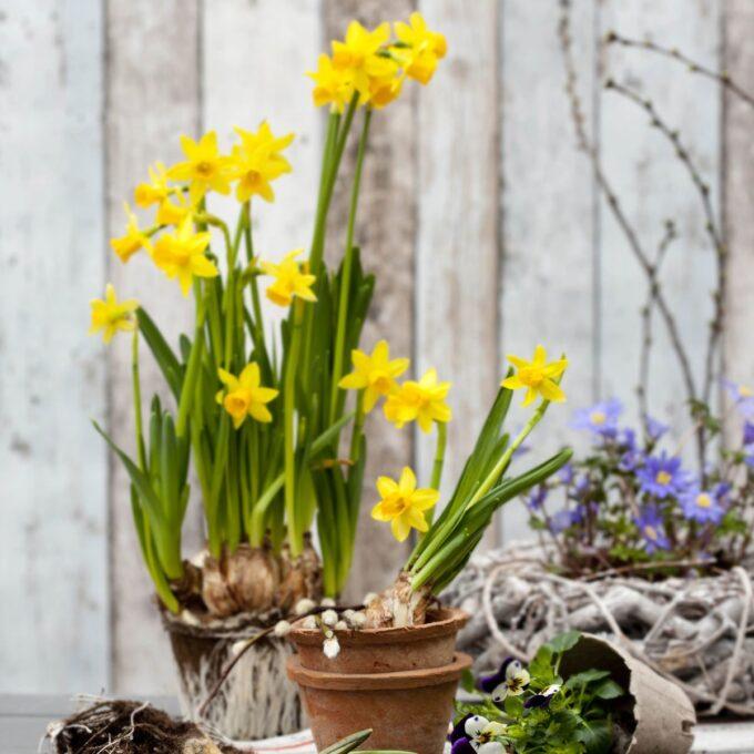 Påskelilje 'Tete-a-tete' er vårens første plante. Den tåler mye frost, og kan derfor gjerne plantes ut på trappa tidlig vår. Den får et vell av gule trompetlignende blomster som har god holdbarhet.