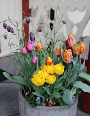 Fargerike tulipaner i krukke