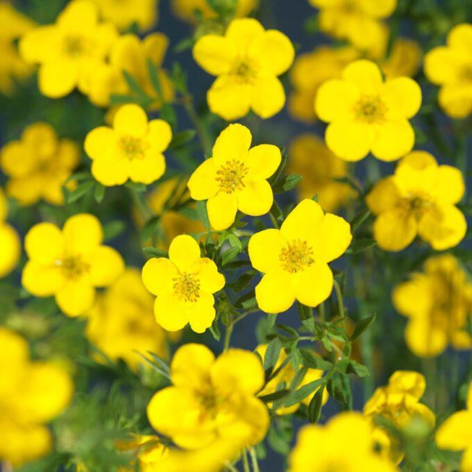 Goldfinger buskmure-blomster
