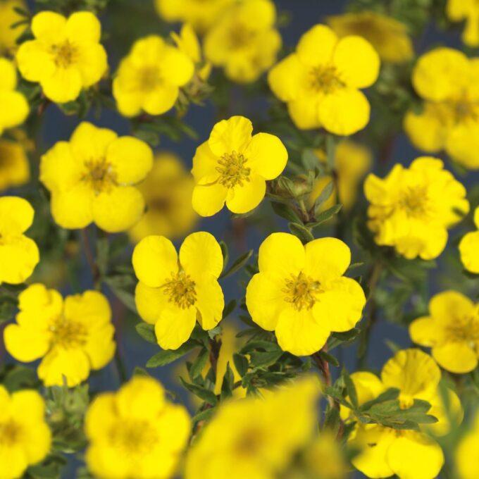 Blomstene til gul buskmure Goldteppish