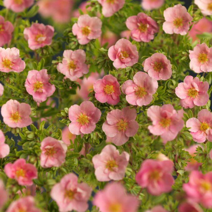 Rosa buskmure Lovely Pink