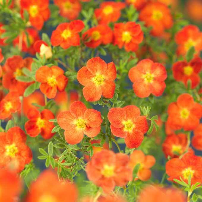 Orangerøde buskmureblomster, Red Robin