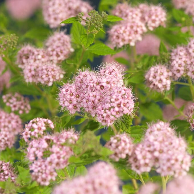 Rosablomstrende japanspirea Little Princess