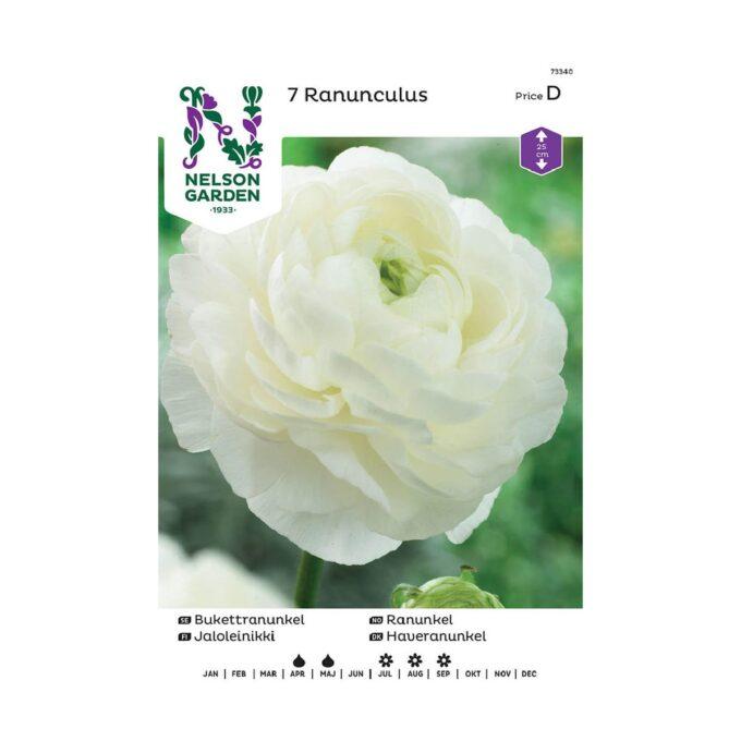 Løk av hvit Ranunkel Ranunculus
