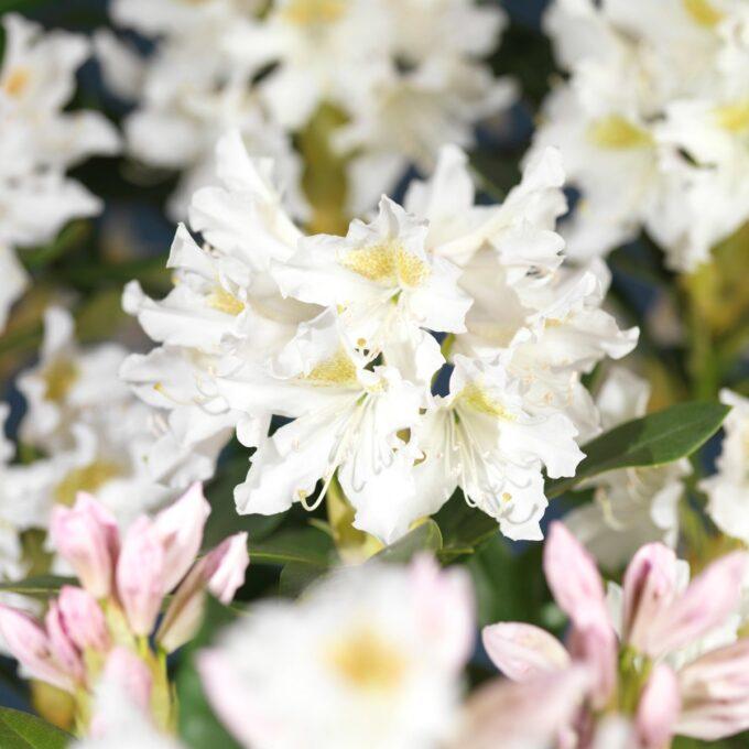 Hvite Rhododendron Cunninghams White