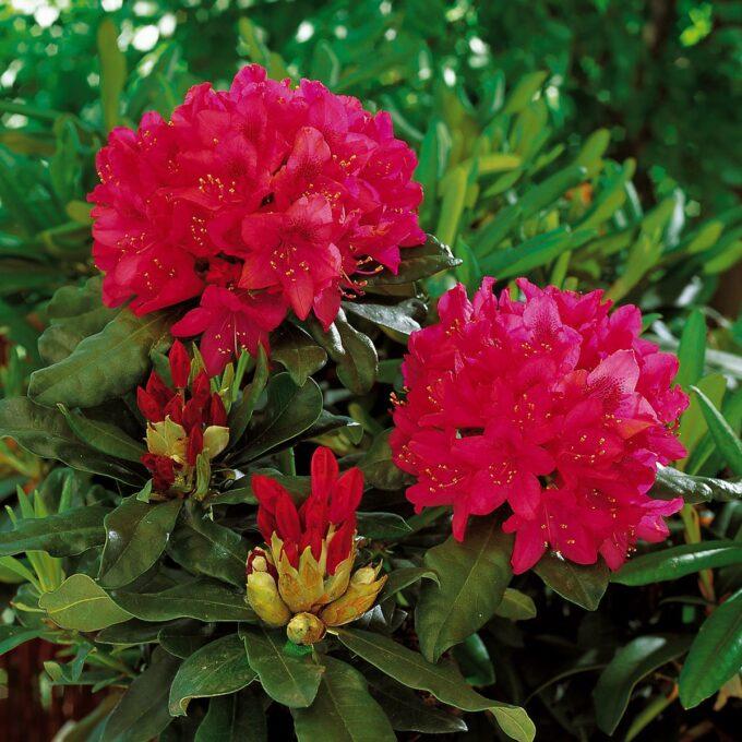 Rosa rhododendron Nova Zembla