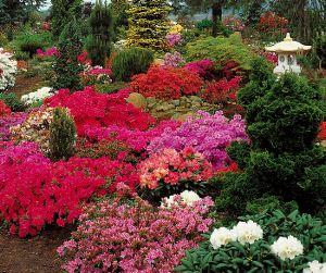 Rhododendron lave busker i mange farger