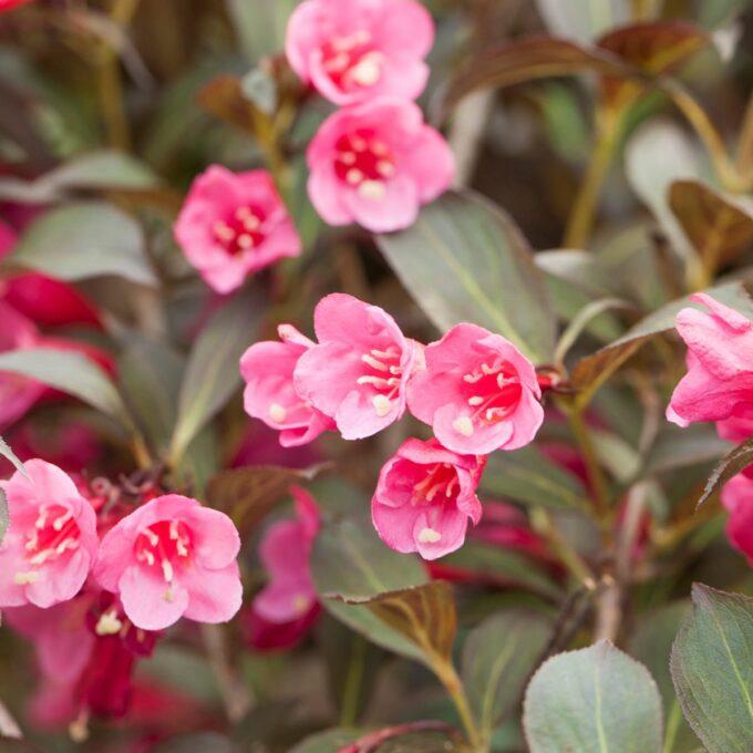 Nærbilde av rosa roseklokkebuskblomster