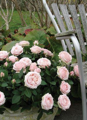Lysrosa roser i potte