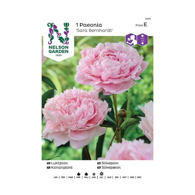 Nelson Garden blomsterløk - silkepion Sara Bernhardt