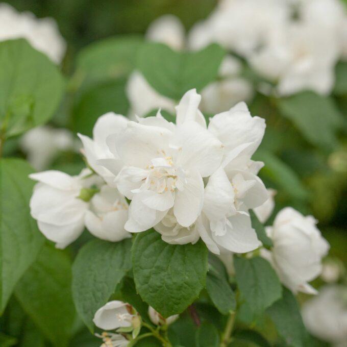 Nydelig, hvit Mrs. E. L. Robinson skjærsmin-blomst