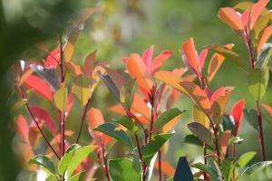 Svartsurbær Aronia blader i høstfarger
