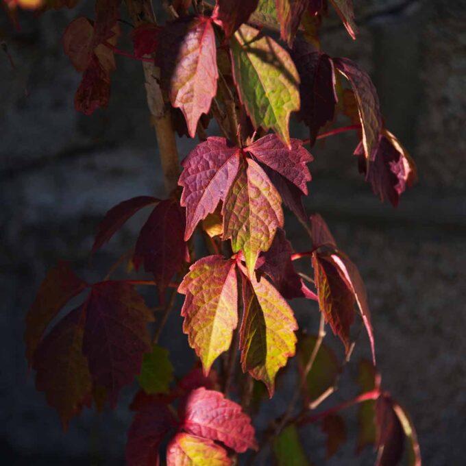 rød-gule blader på klatrevillvin, belyst av solen