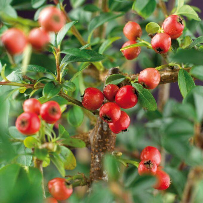 vintermispelbær på gren
