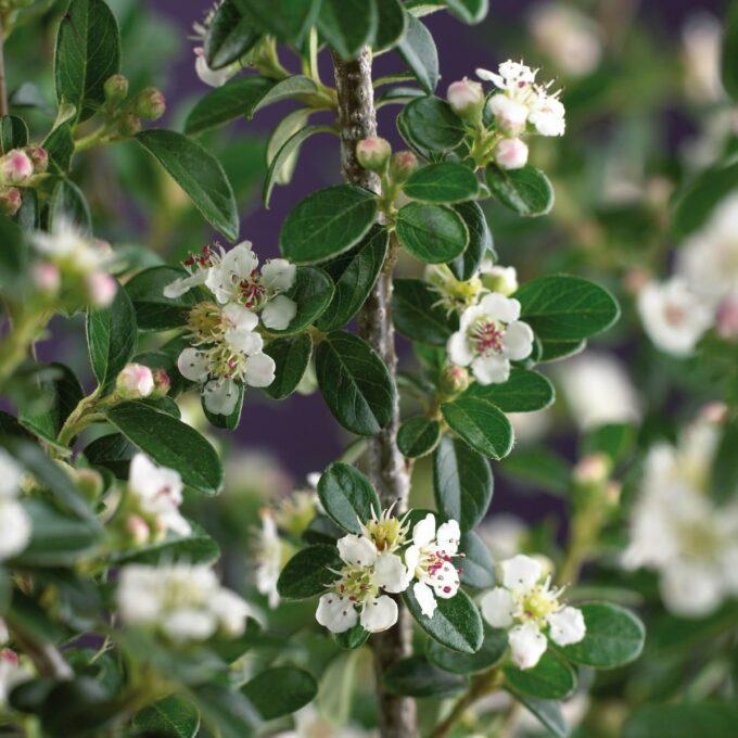 Skogholm vintermispel med hvite blomster og blankgrønne blader