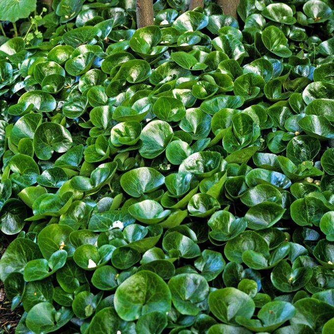 Grønne, blanke blader av hasselurt