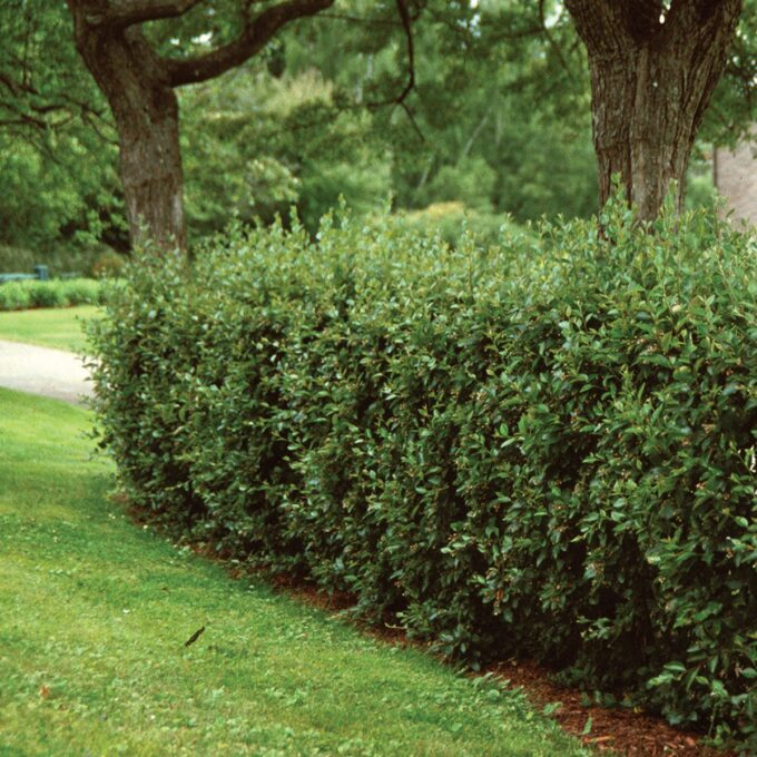 Hekk av blankmispel cotoneaster lucidus
