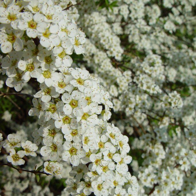 hundrevis av hvite brudespirea grefsheim-blomster på grener
