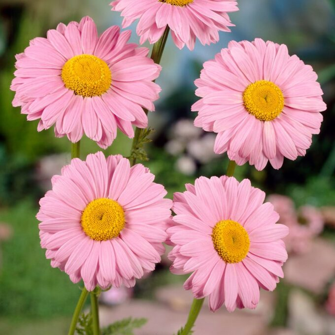 Rosa chrysanthemum Krage Robinson's Rosa