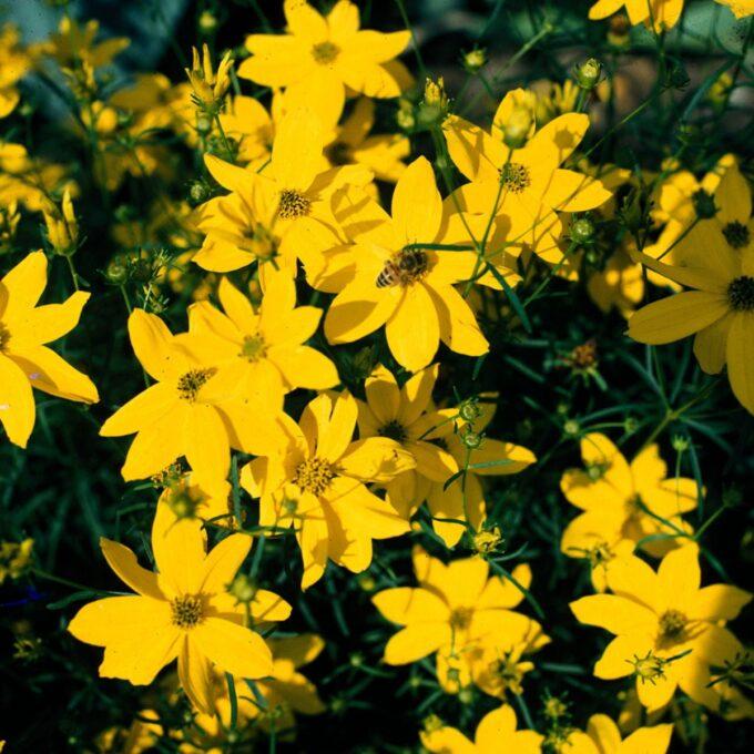 Knallgul kransvakkerøye Grandiflora