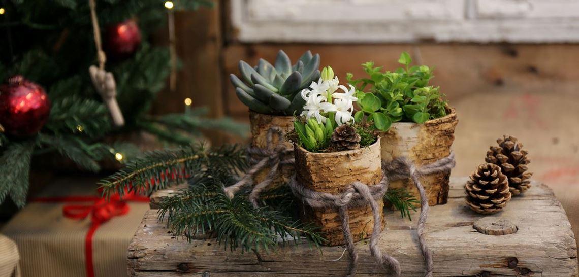 Diverse juleblomster i fine små potter
