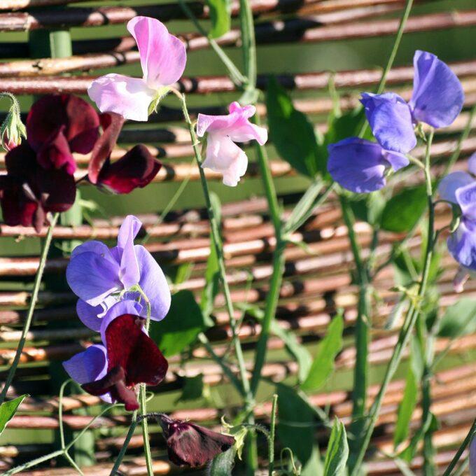 erteblomster i skarlagenrødt, lilla og rosa