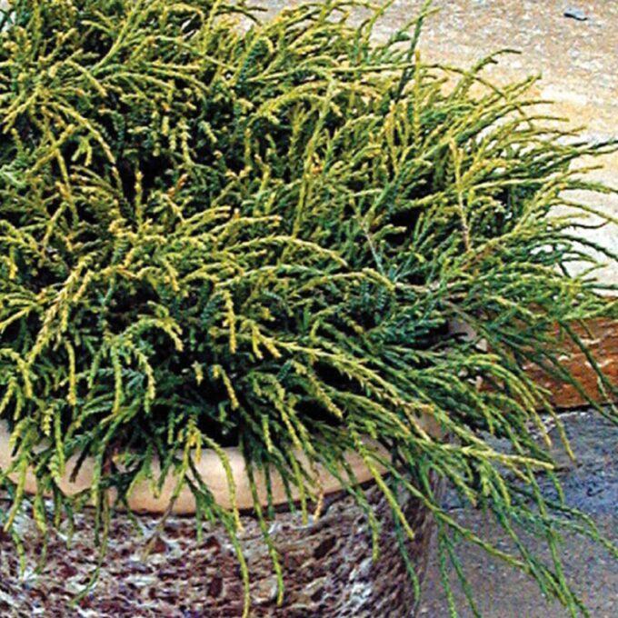 Ertesypress 'Filifera Nana'