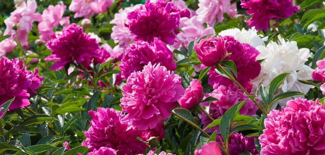 Hvite og rosa peoner